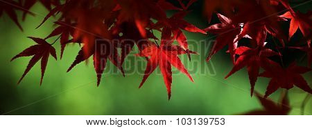 Beautiful colors of autumn. Red Japanese maple in light and shadow with green background.