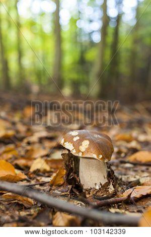 edible mushroom in forest