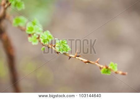 branch of gooseberry bush in spring