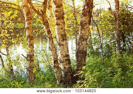 Birches At River Olanga. Republic Of Karelia. Russia