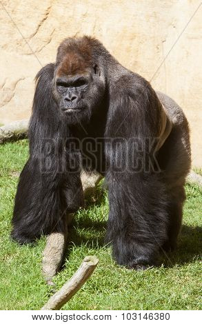 Male Western Lowland Gorilla