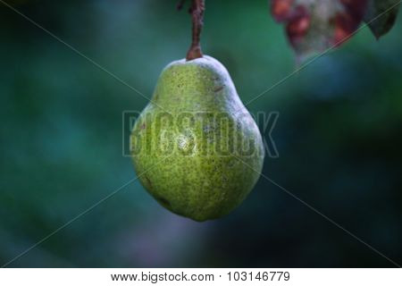 Pear on the tree.