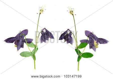 Pressed And Dried Flower  Aquilegia Vulgaris. Isolated On White Background.