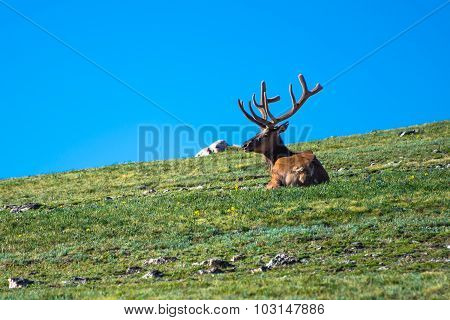 Elk Laying On The Tundra