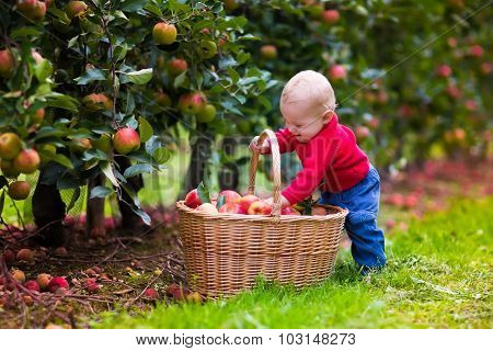 Cute Baby Boy Picking Fresh Apples From Tree