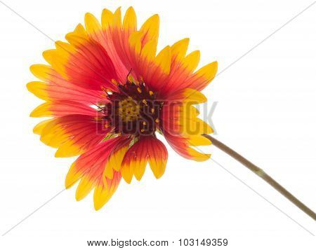 Bright Flower Gaillardia
