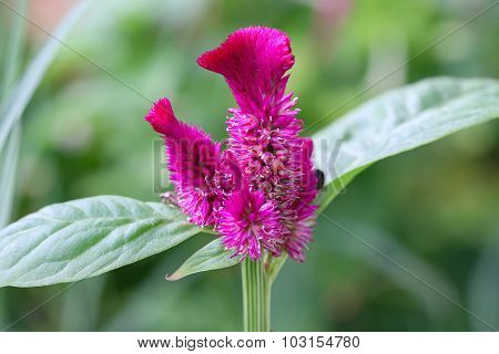 Cockscomb flower.