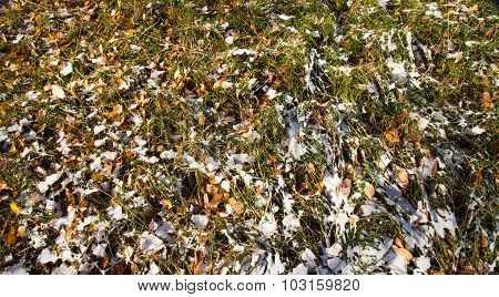 The Fallen Leaves Of A Birch On A Grass Covered With The First Snow