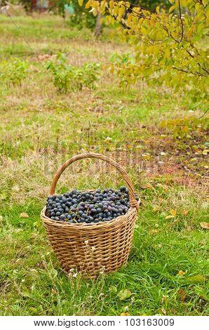 Wine Grapes In Basket In Garden