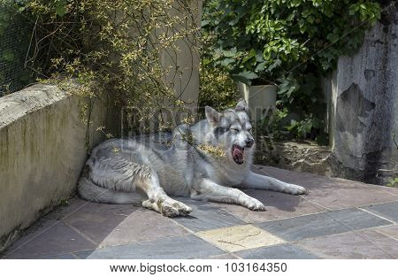 Alaskan malamute pet dog laying on a patio
