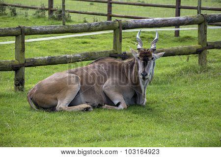 Eland Animal