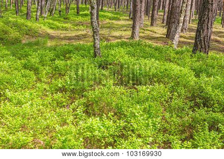 Forest green bilberry bushes