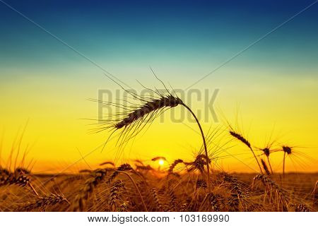 golden sunset over harvest field with wheat ear
