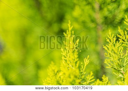Evergreen tree close up