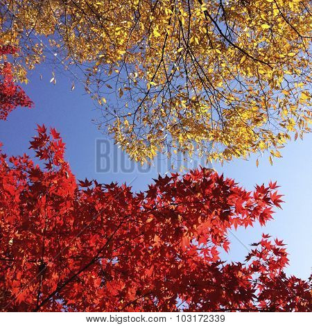 Red and gold leaves on a blue sky