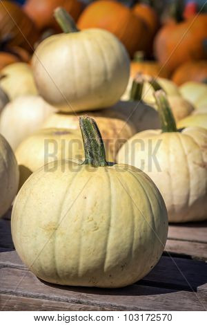 White farm pumpkins freshly harvested.