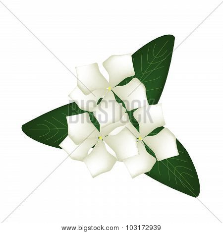 White Cape Periwinkle Flowers Or Madagascar Periwinkle Flowers
