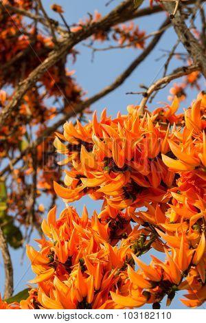 Flame of the forestButea monosperma O.Ktze Leguminosae-Papilio noideae