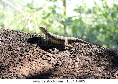 Rare Brazilian Lizard
