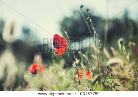 Forest Meadow With Red Poppy And Herbs