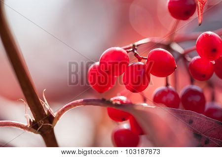 Macro Image Of Red Viburnum Berries, Small Depth Of Field.