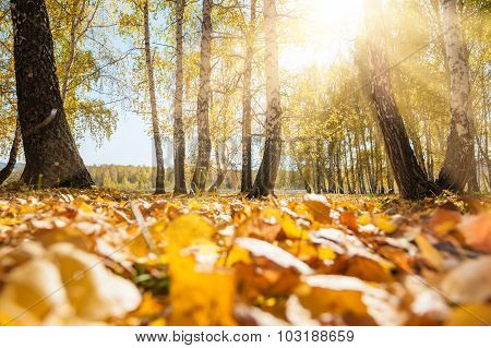 Yellow Fallen Leaves In Autumn Forest