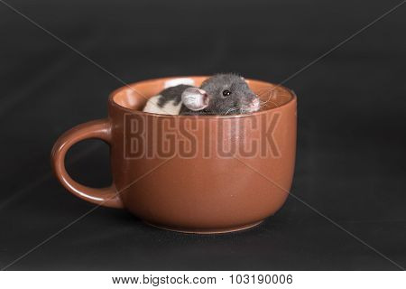 Rat Sitting In A Cup
