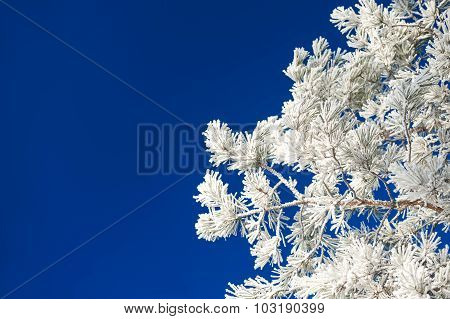 Pine Tree With Hoarfrost Against The Dark Blue Sky