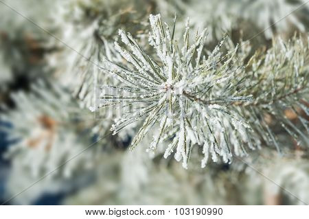 Pine Tree With Hoarfrost In Winter Forest.