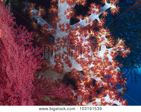Soft Red Teddybear Coral