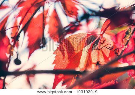Macro Image Of Red Autumn Leaves, Small Depth Of Field