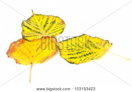 Autumn Multicolored Leafs On White Background