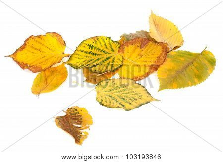 Autumn Multicolored Leafs