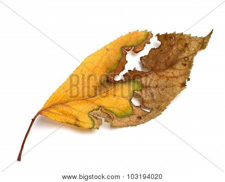 Yellowed Dried Autumn Leaf On White Background