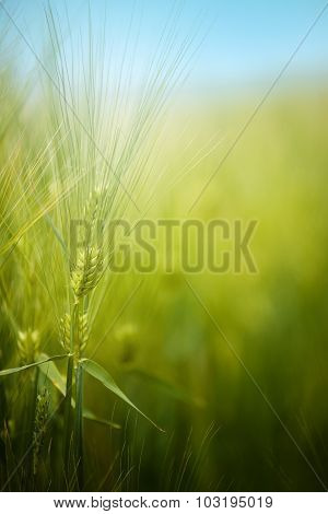 Young Green Barley Crop Field