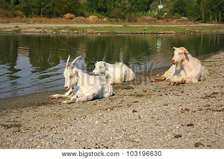 Three White Goats Resting Near A River