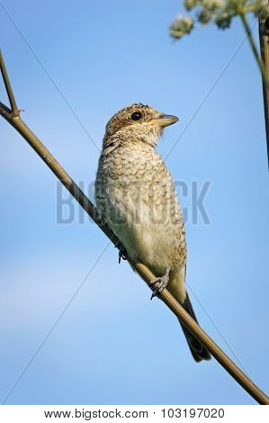 Portrait of an young red-backed shrike on blue sky background