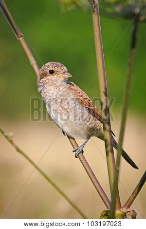 Portrait of an young red-backed shrike on the stem of the umbrella plant