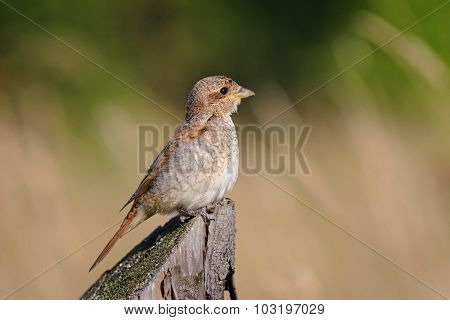 Portrait of an young Red-backed Shrike  in the evening light, Russia