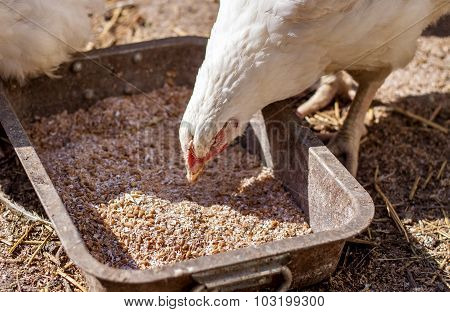 Detail Of White Dirty Chicken Eating Grains
