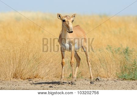 Red List Wild Saiga Antelope Near Watering In Steppe