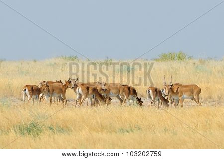 Critically endangered Saiga Antelopes In Kalmykia Steppe