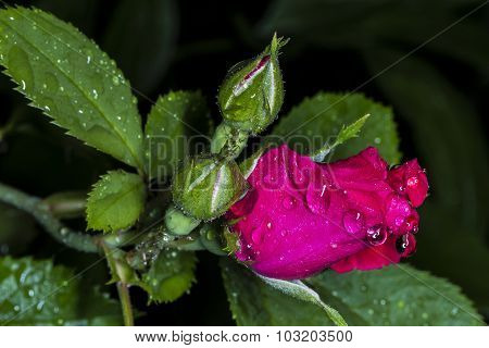 Rain On The Red Rose