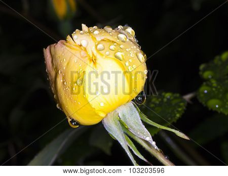 Rain On The Yellow Rose