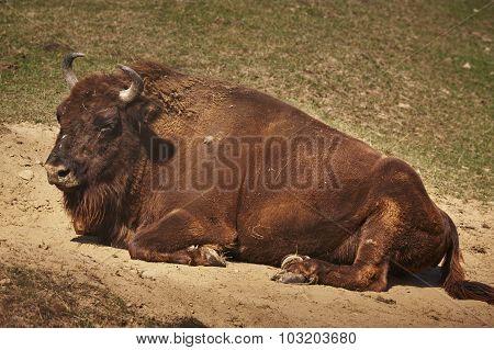 European Bison  Female