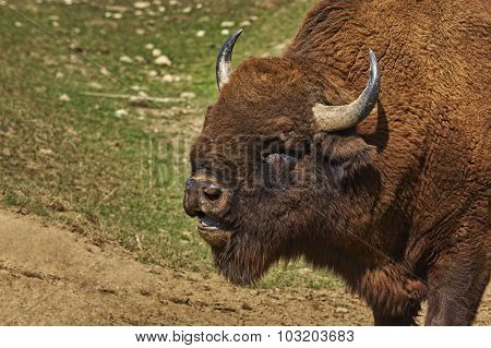 Roaring Bison Male Head