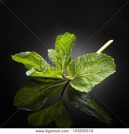 herb / mint on black