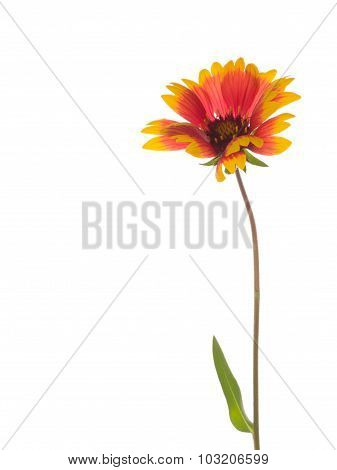 Bright Red And Yellow Flower Gaillardia