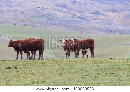 Livestock Cow In Rural Farm South Island New Zealand