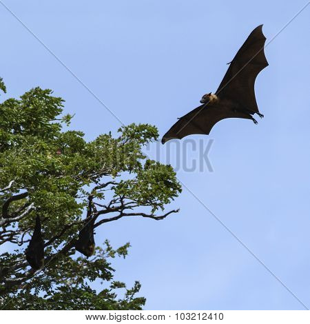 Indian Flying-fox In Tissamaharma, Sri Lanka